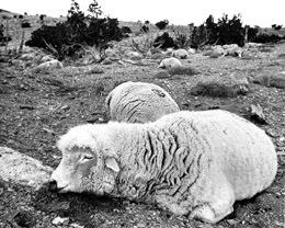 Some of Ray Peck's dead sheep. (Credit: Deseret News)