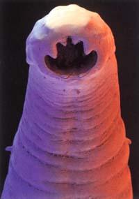Close-up of a hookworm