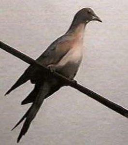 http://www.damninteresting.net/content/passenger_pigeon_Martha.jpg